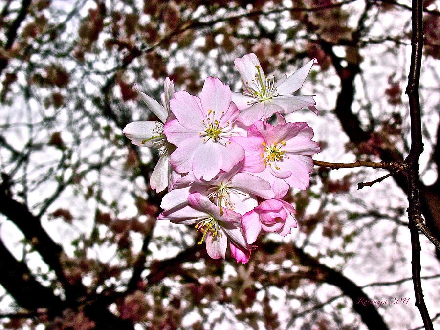 Cherry Blossom Photograph - Innocence IIi by Rotaunja