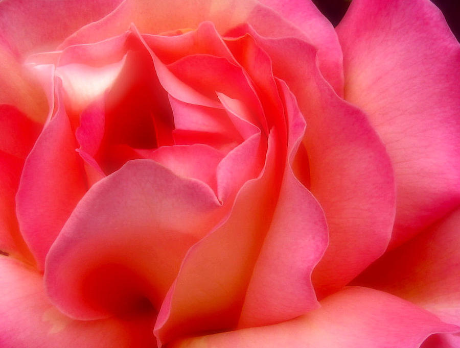 Rose Photograph - Inside My Heart II by Rory Sagner
