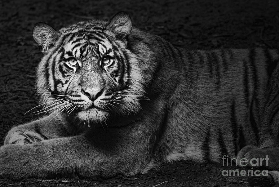 Tiger Photograph - Intent by Andrew Paranavitana