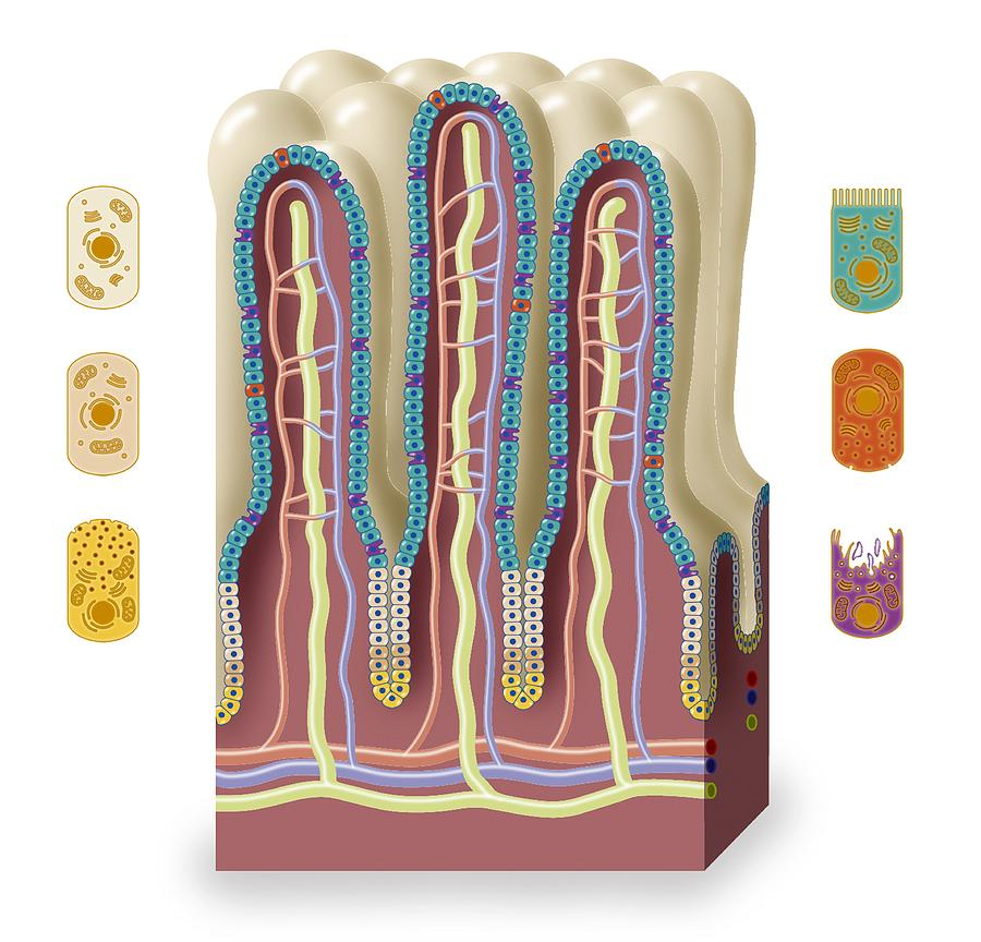 Intestinal Villi Anatomy Artwork Photograph By Art For Science