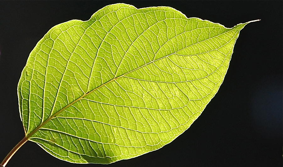 Intricacies of a Leaf by Mary McAvoy