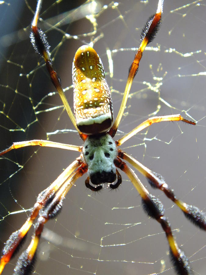 Spiders Photograph - Invitation To Dinner by Karen Wiles