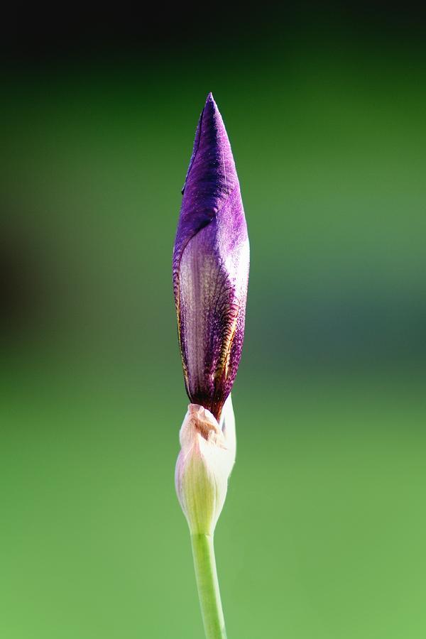 Flowers Photograph - Iris 12 by Nathan Larson