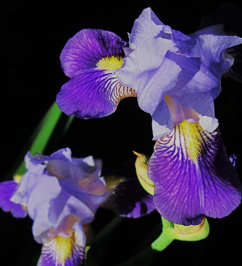 Iris Photograph - Iris-13 by Todd Sherlock