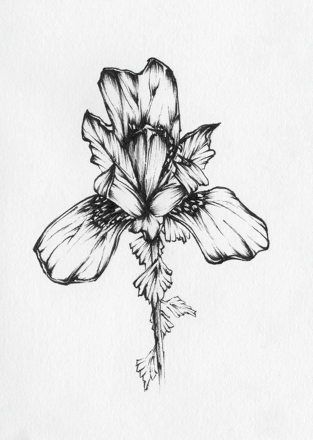 Line Drawing Of Iris Flower : Iris drawing by christopher lem