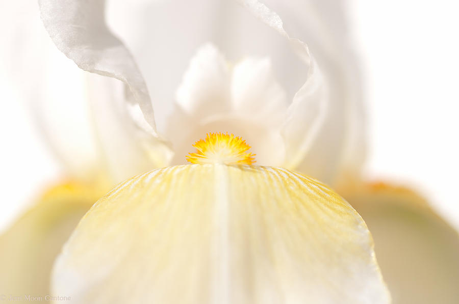 Flower Photograph - Iris by Jerri Moon Cantone
