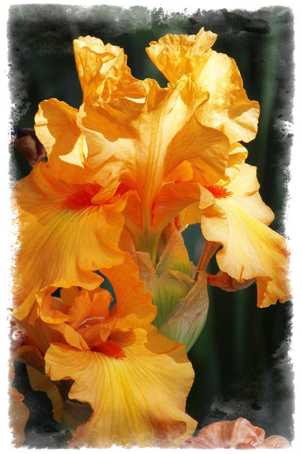 Iris Photograph - Iris by Judy Deist