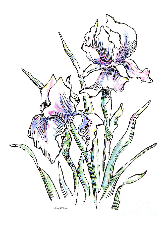 Line Drawing Of Iris Flower : Iris watercolor drawing painting by gordon punt