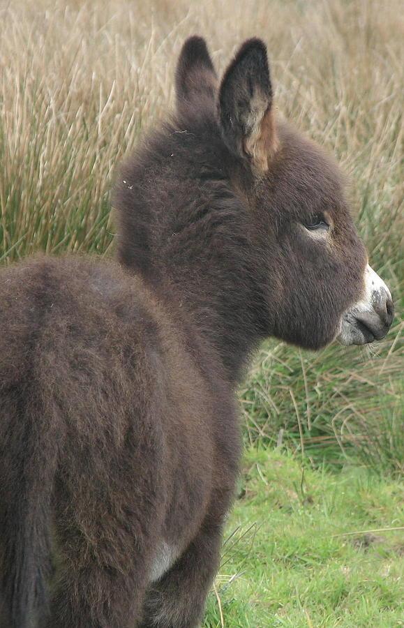 Irish Photograph - Irish Donkey Foal by Joseph Doyle