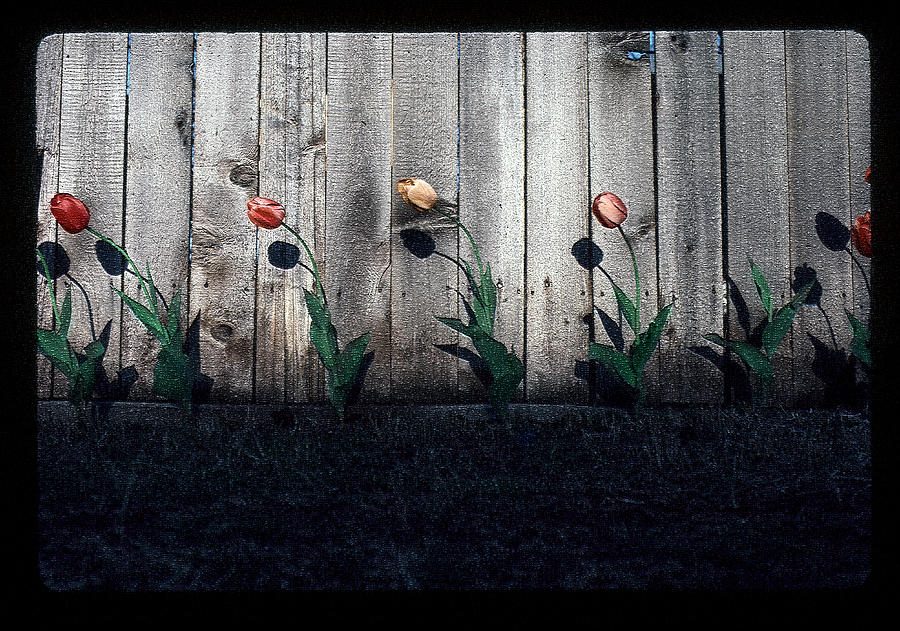 Tulip Photographs Photograph - Is It Spring Yet? by Greg Kopriva