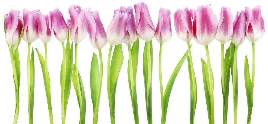 Isolated Border From Pink Tulips Photograph by Aleksandr ... Tulips Border Clipart