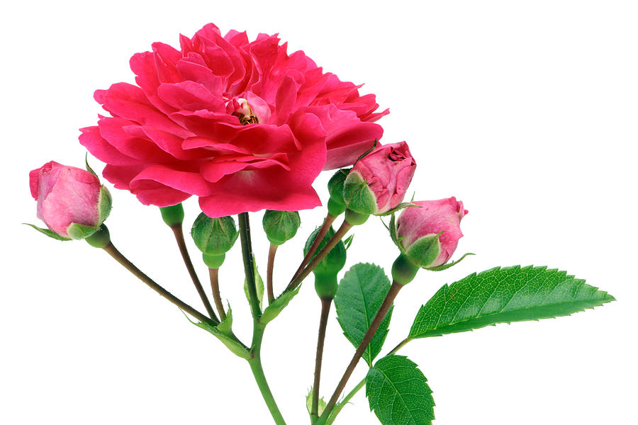 Rose Photograph - Isolated  pink rose with buds by Aleksandr Volkov
