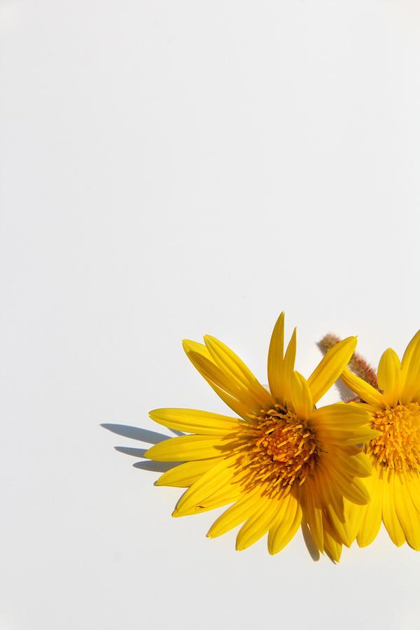 Daisy Photograph - Isolated Yellow Chrysanthemum Flower by Gal Ashkenazi