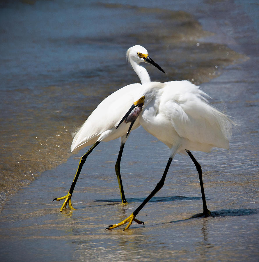 Snowy Egret Photograph - It Takes Two To Tango by Vicki Jauron