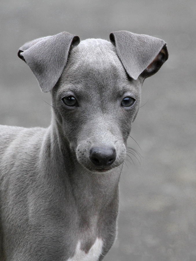 Greyhound Photograph - Italian Greyhound Puppy 2 by Angie Vogel