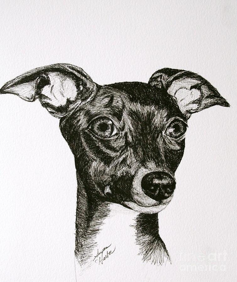 Ig Drawing - Italian Greyhound by Susan Herber