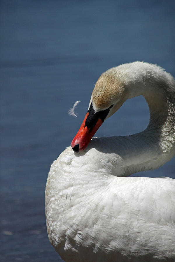Swan Photograph - Its Like Pulling Hair by Karol Livote