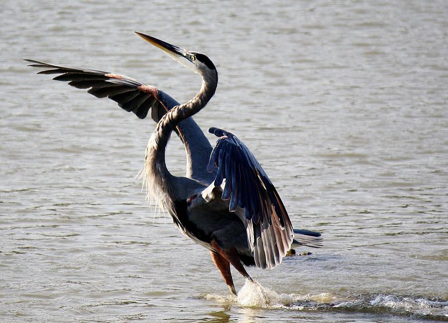 Blue Heron Photograph - Ive Arrived by Paulette Thomas
