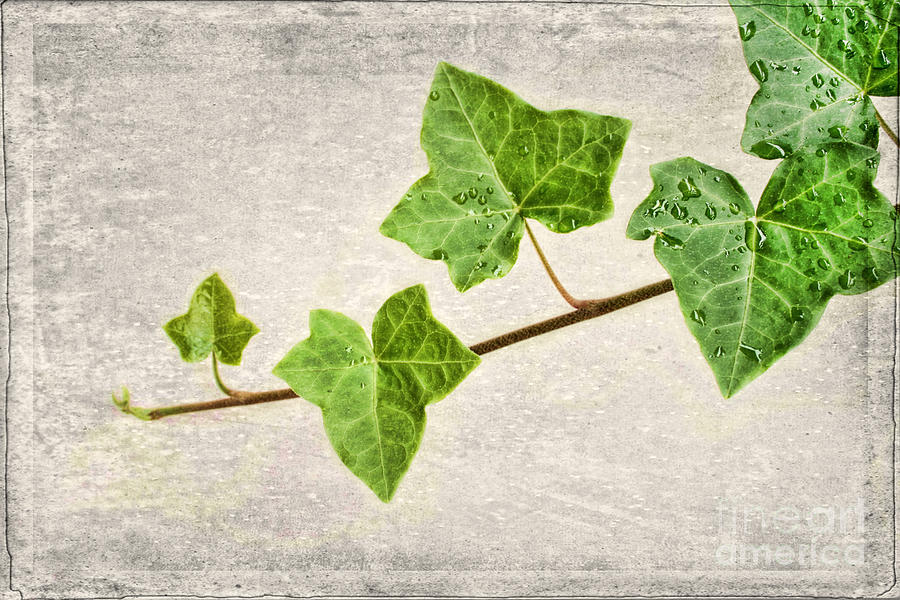 Aged Photograph - Ivy by Darren Fisher