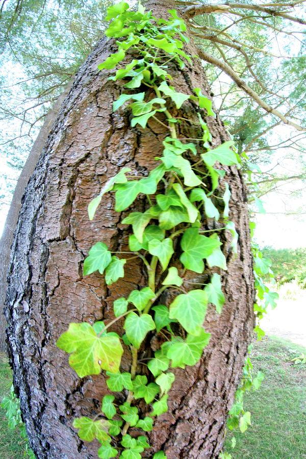 Tree Photograph - Ivy Tree by Paula Deutz
