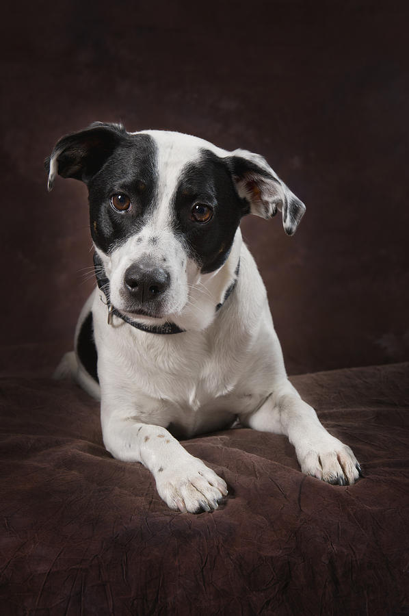Brown Background Photograph - Jack Russell Terrier On A Brown Studio by Corey Hochachka