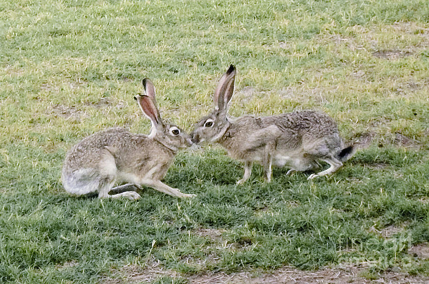 Image result for two jackrabbits