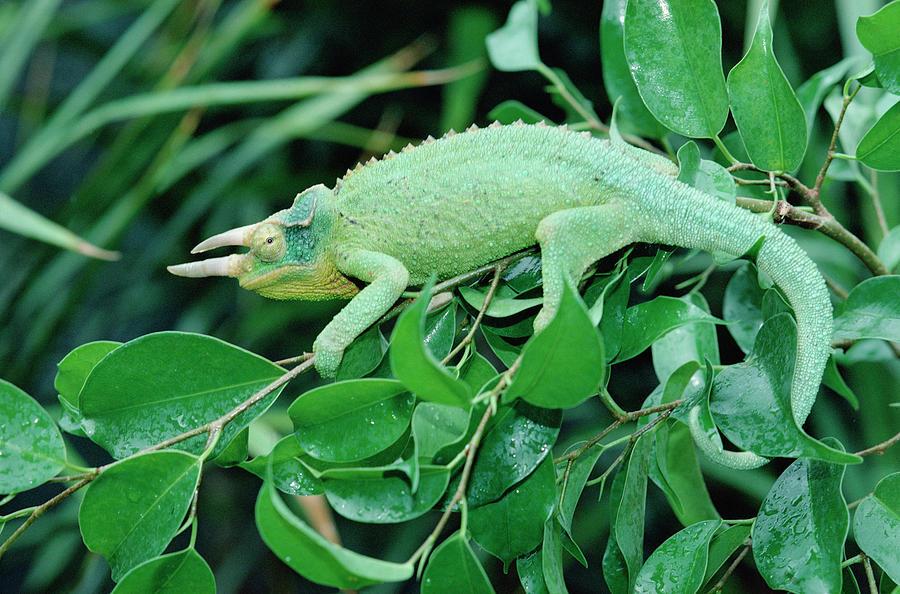 Jacksons Chameleon Chamaeleo Jacksonii Photograph by Gerry Ellis