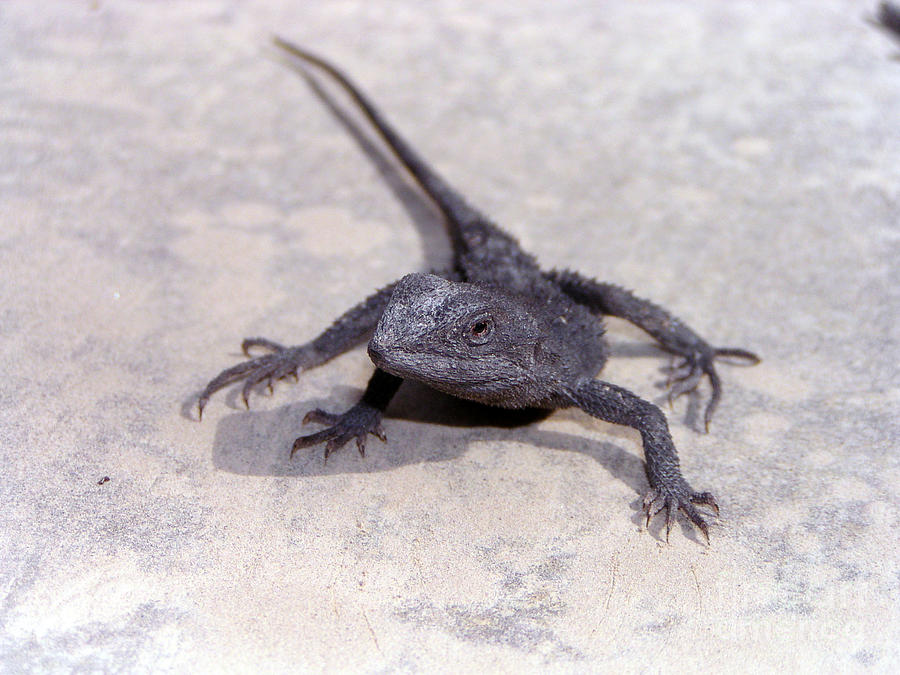 Jacky Lizard  Photograph by Joanne Kocwin