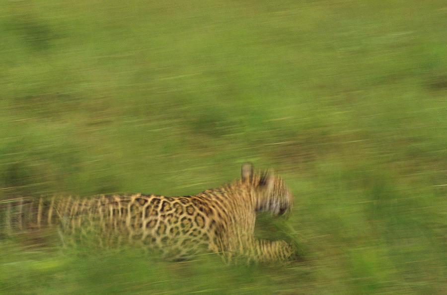 Mp Photograph - Jaguar Panthera Onca Running by Claus Meyer