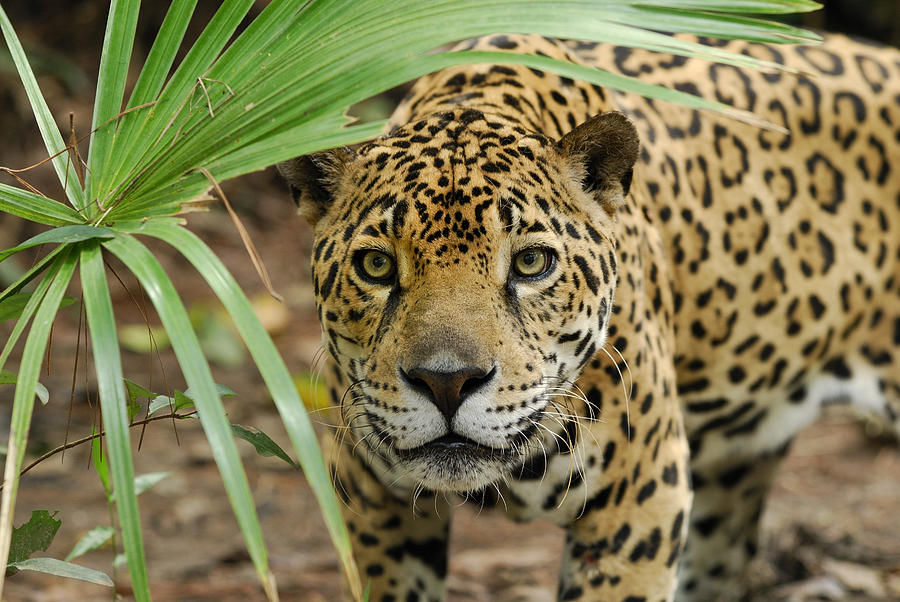Jaguar Peering Through The Brush Photograph by Thomas Marent