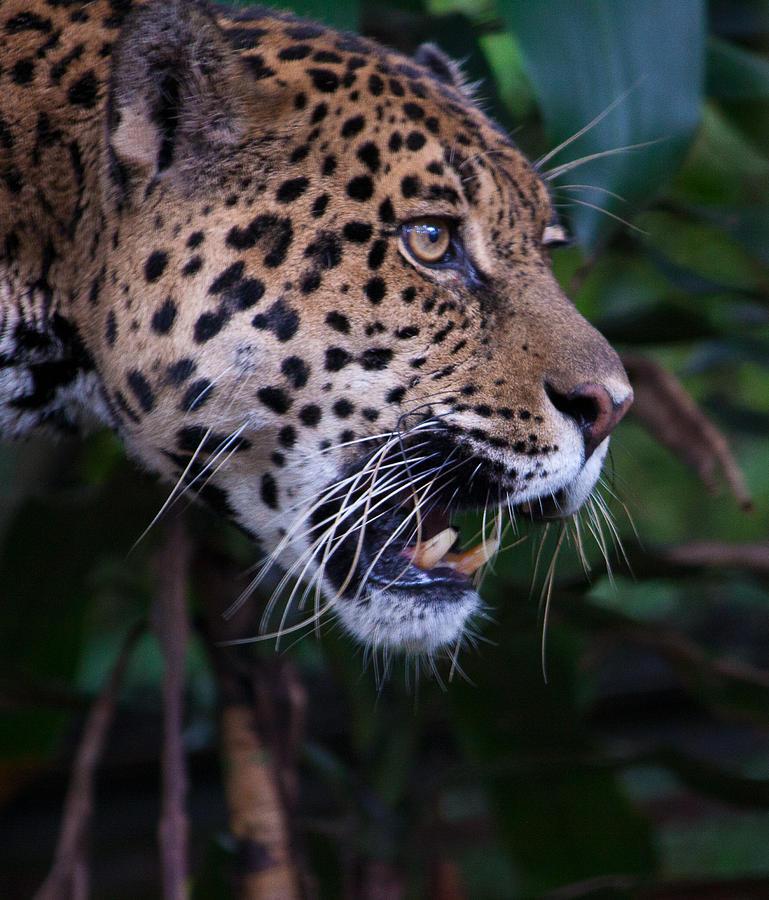 Snarling Jaguar