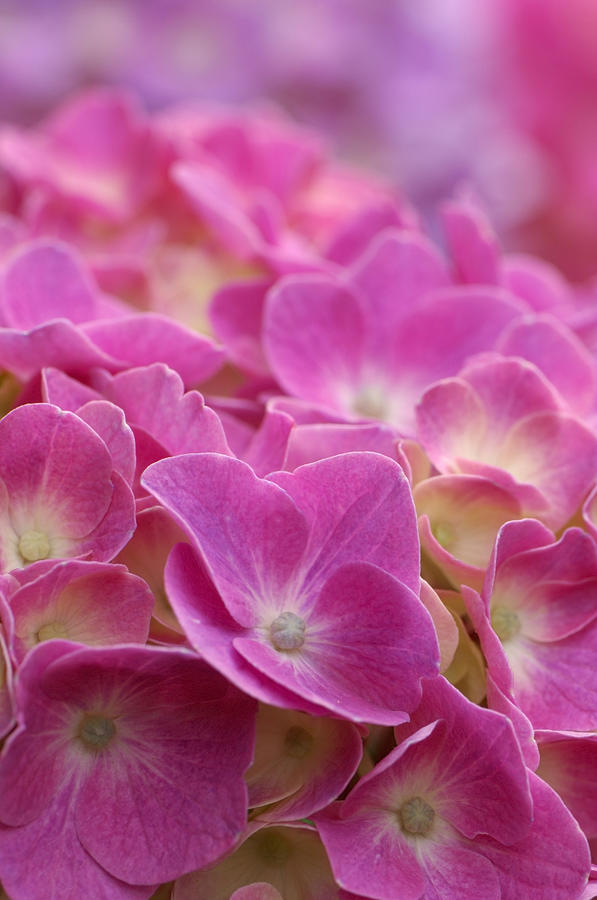 Vertical Photograph - Japan, Kanagawa Prefecture, Sagamihara City, Close-up Of Pink Flowers by Imagewerks