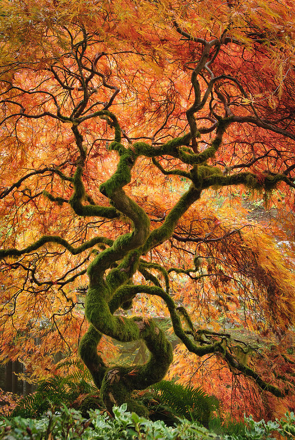 japanese garden maple tree photograph by greg vaughn