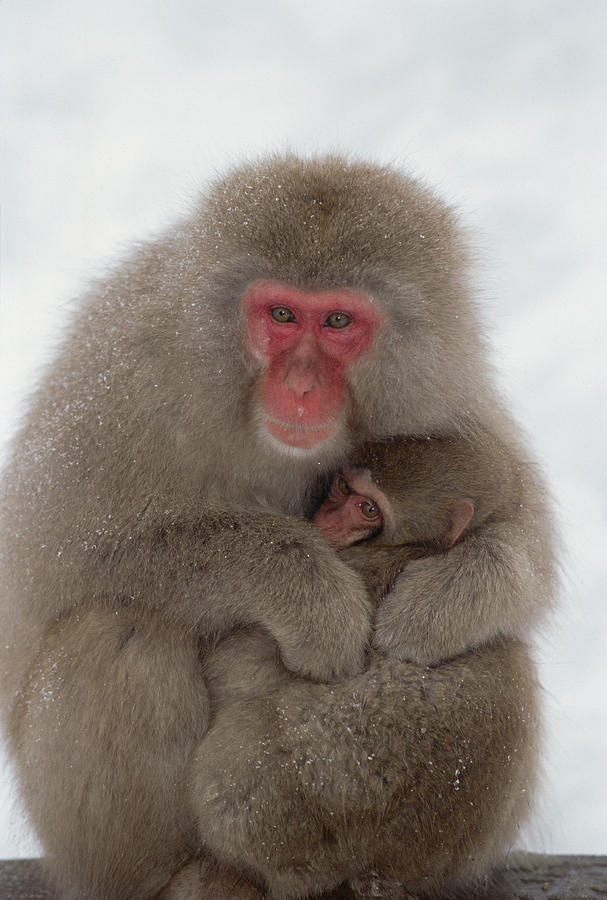 Japanese Macaque Macaca Fuscata Mother Photograph By