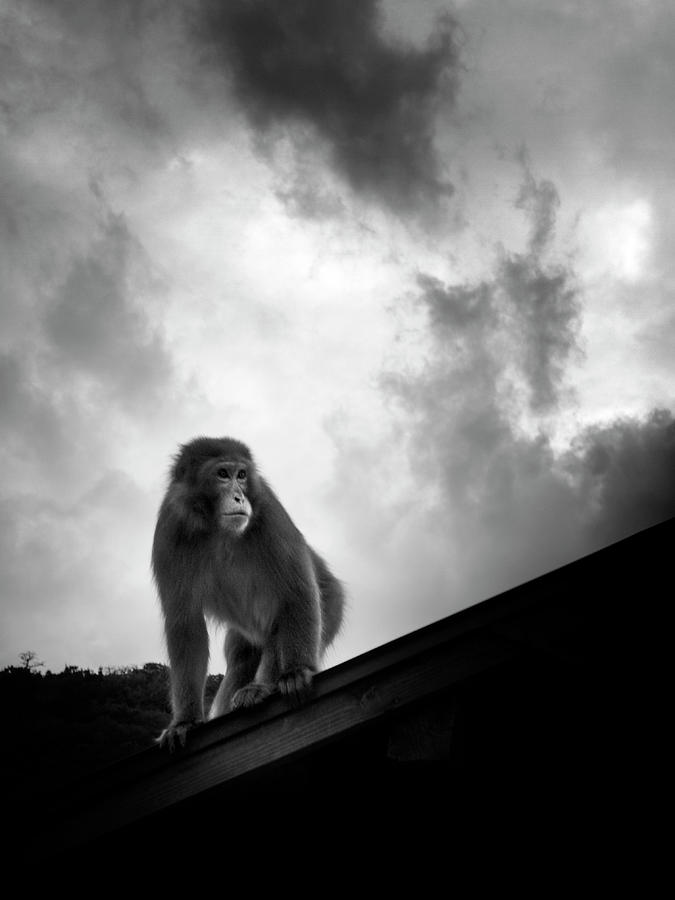 Vertical Photograph - Japanese Macaque On Roof by By Daniel Franco