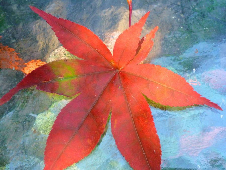 Japanese Maple Photograph - Japanese Maple by Beth Akerman