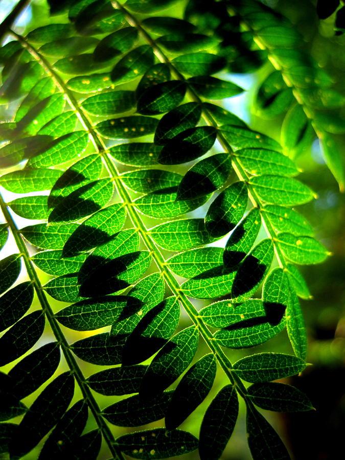 California Photograph - Jaqaranda Branches by Catherine Natalia  Roche