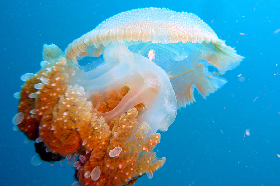 Horizontal Photograph - Jellyfish And Small Fish by Takau99