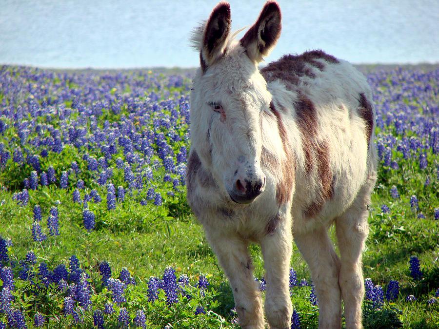 Donkey Photograph - Jesus Donkey In Bluebonnets by Linda Cox