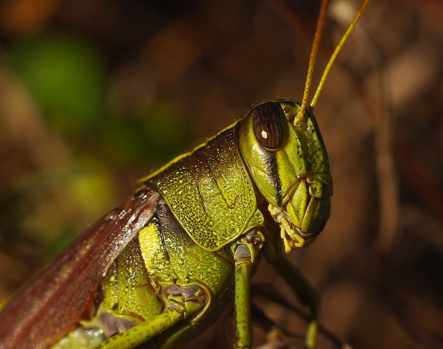 Grasshopper Photograph - Jiminy Cricket Never Looked This Good by Billy  Griffis Jr