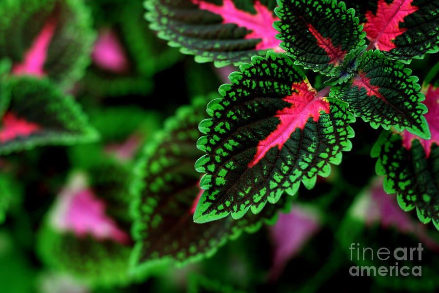 Plant Photograph - Joesphs Lace by Chris Hill