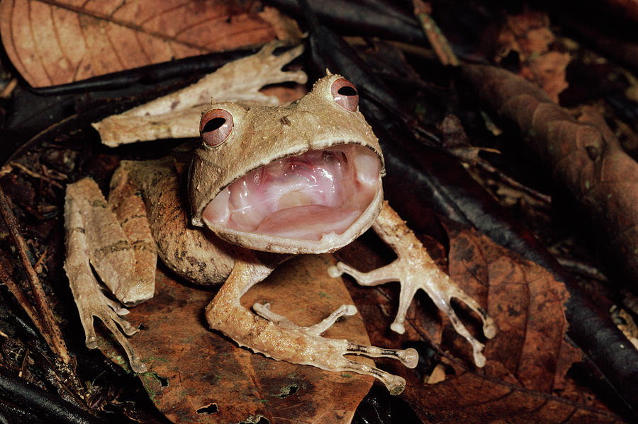 Mp Photograph - Johnsons Horned Treefrog Hemiphractus by Michael & Patricia Fogden
