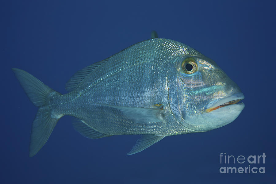 Jolthead Porgy In The Waters Photograph By Terry Moore