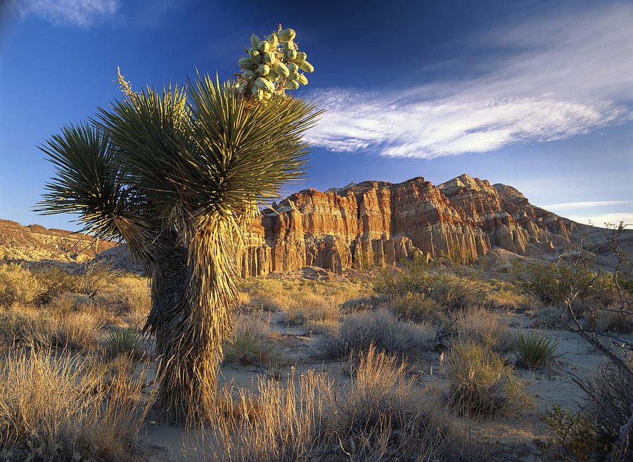 Joshua Tree At Red Rock State Park Photograph by Tim Fitzharris