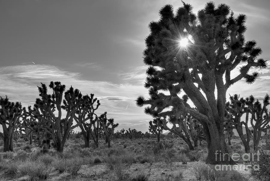 Joshua Tree Photograph - Joshua Tree National Preserve by Eddie Yerkish