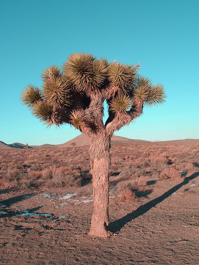 Nature Photograph - Joshua Tree by Naxart Studio
