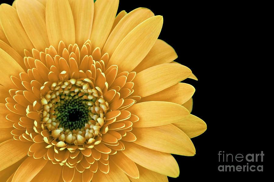 Joyful Photograph - Joyful Delight Gerber Daisy by Inspired Nature Photography Fine Art Photography