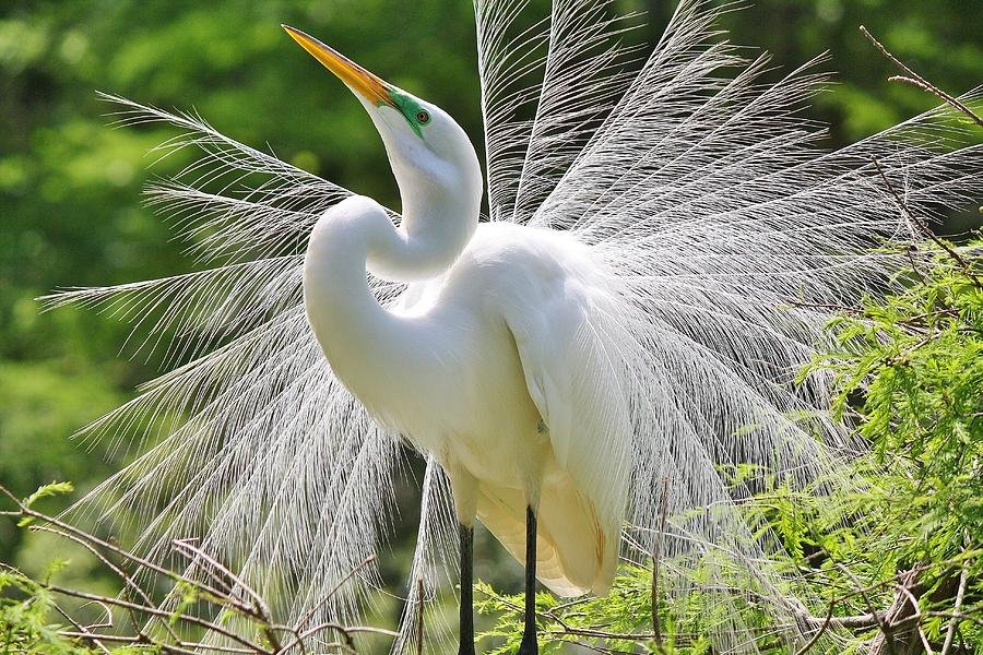 Great White Egret Photograph - Joyful by Paulette Thomas