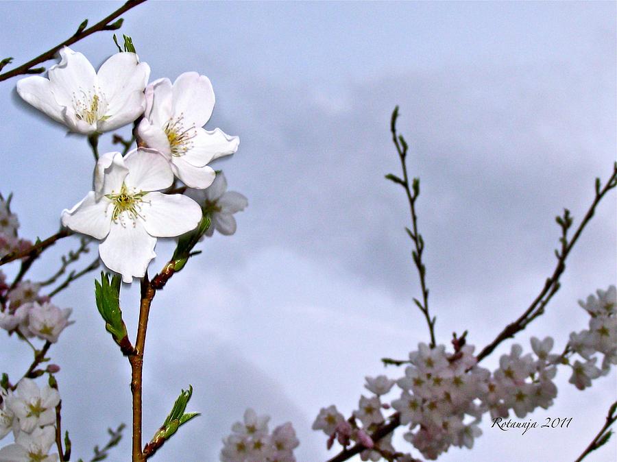 Cherry Blossom Photograph - Joyous Laugh by Rotaunja
