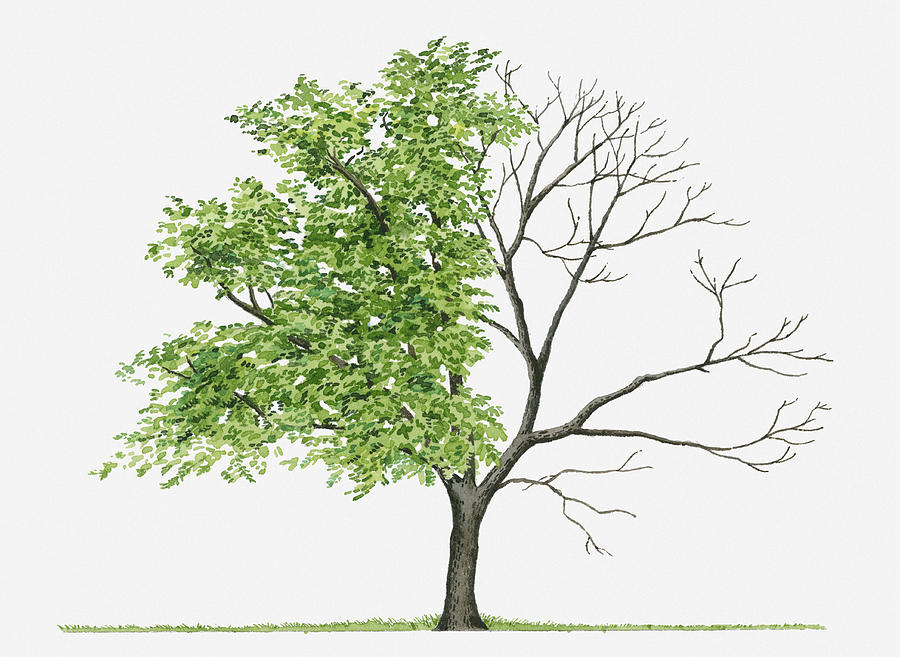 Horizontal Digital Art - Juglans Cinerea (butternut): Illustration Showing Shape Of Deciduous Juglans Cinerea (butternut) Tree With Green Summer Foliage And Bare Winter Branches by Liz Pepperell